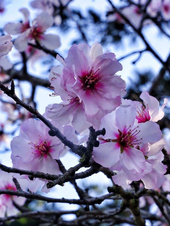 Sakura giapponesi
