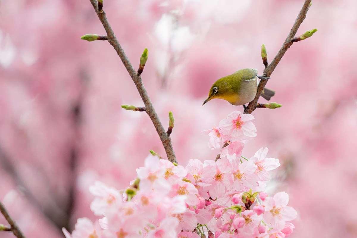 ciliegi in fiore giapponesi
