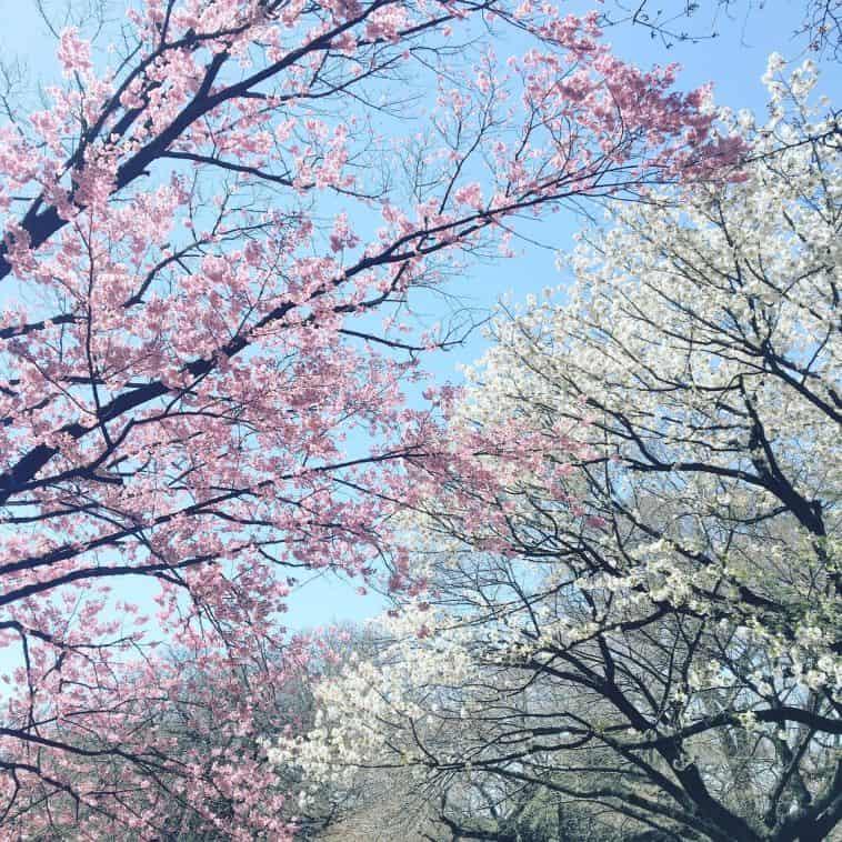 Albero di ciliegio