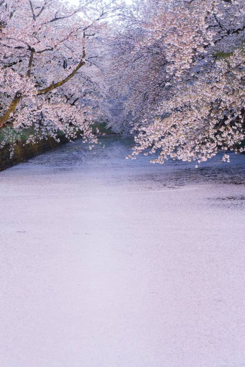 fioritura dei ciliegi a Maggio al castello di Hirosaki