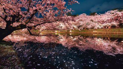 Ciliegi sakura in fiore di notte